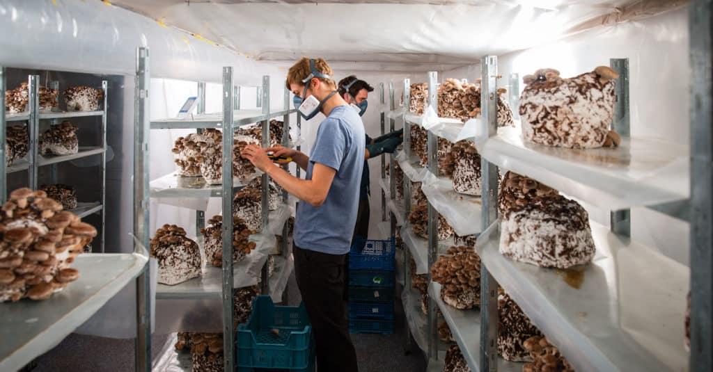 Two men breeding mushrooms